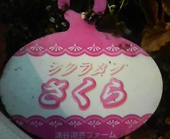 Sakurasikuramen