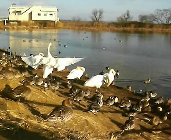 今朝の伊豆沼