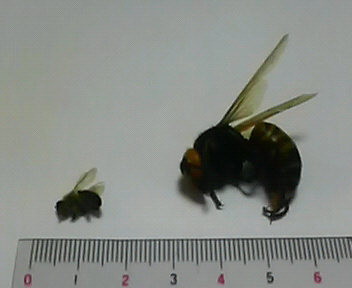 ミツバチとスズメバチ