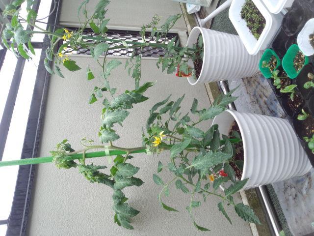 ベランダ菜園?