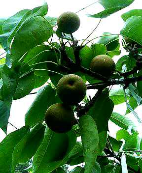 梨の適果 完了
